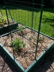 Box C1 - More tomatoes, peppers and marigolds