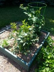 Box C5 - Blackberries & annual herbs