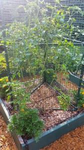 A San Marzano Roma tomato, spreadeagle against a fake fence for support