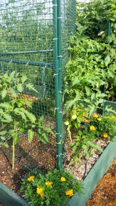 Two slicing tomato plants, spreadeagle against a fake fence for support
