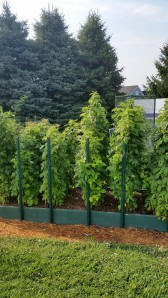 Trellised Raspberries