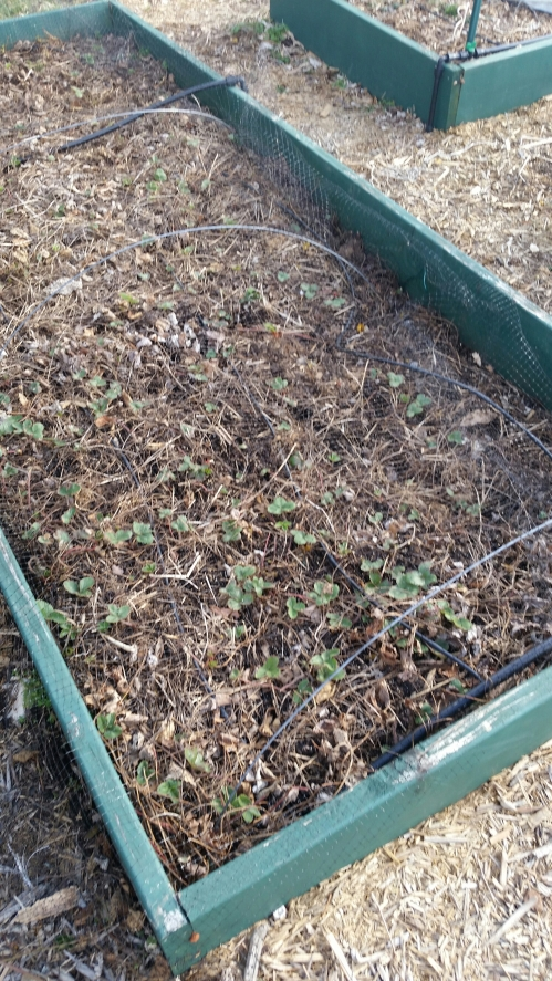 Nearly empty strawberry bed.