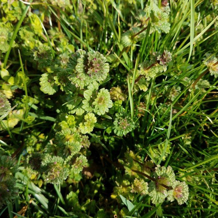 Henbit (Lamium amplexicaule)
