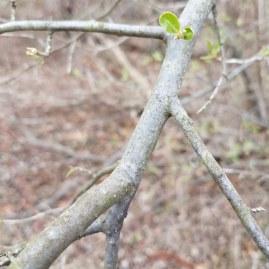 Mottled Autumn Olive Bark