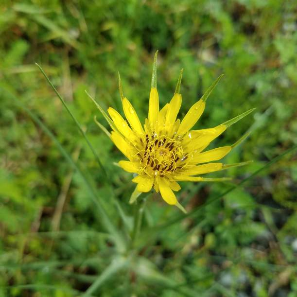 A Feral Salsify