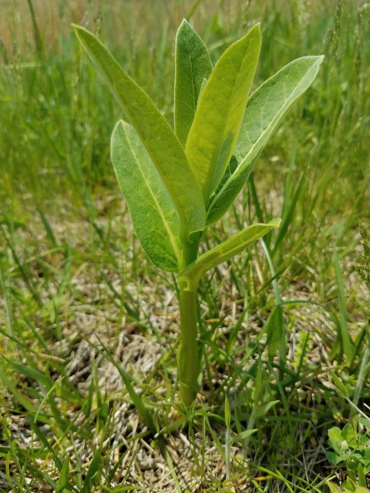 Milkweed Shoot
