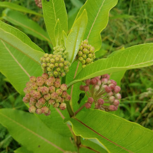 Milkweed Flower Buds