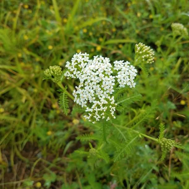 Yarrow in flower
