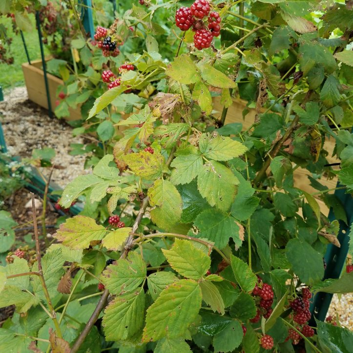 Domestic Blackberry Leaves