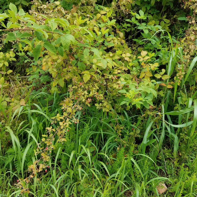 Wild Blackberry Leaves