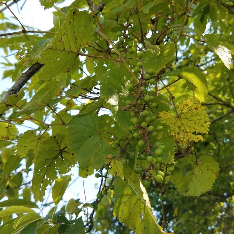 Wild Grapes
