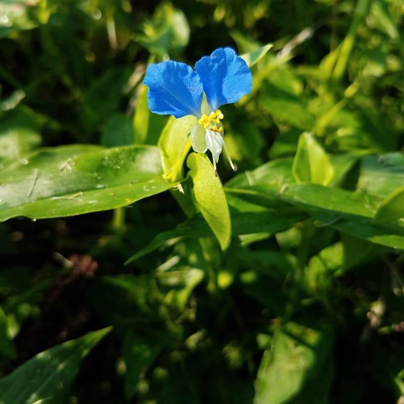 Asiatic Dayflower Flower
