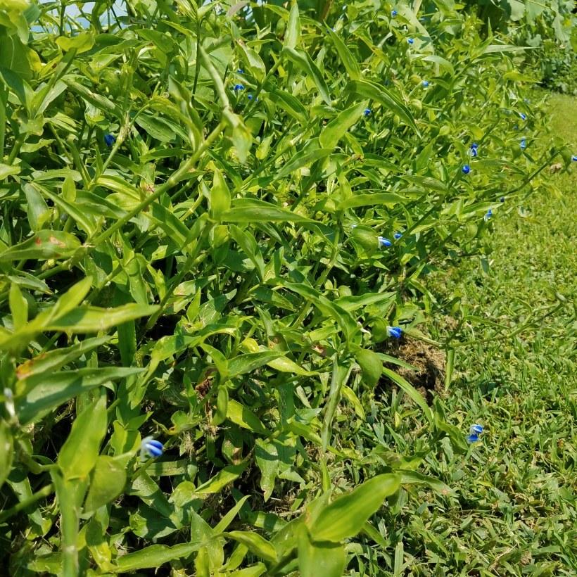 asiatic_dayflower_hedge