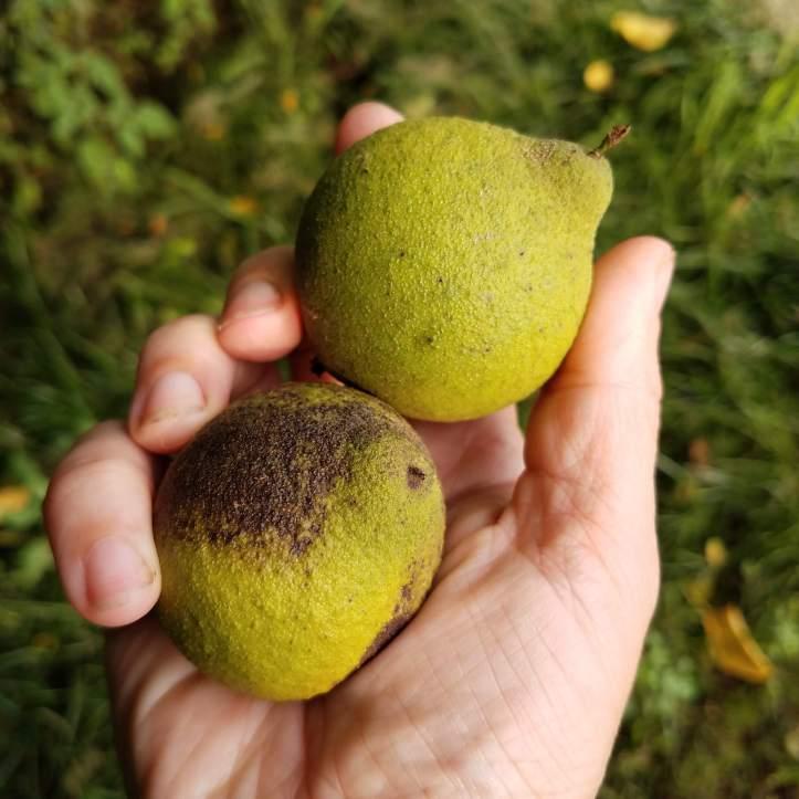 Possible butternuts