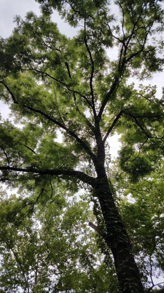 Possible Butternut Tree
