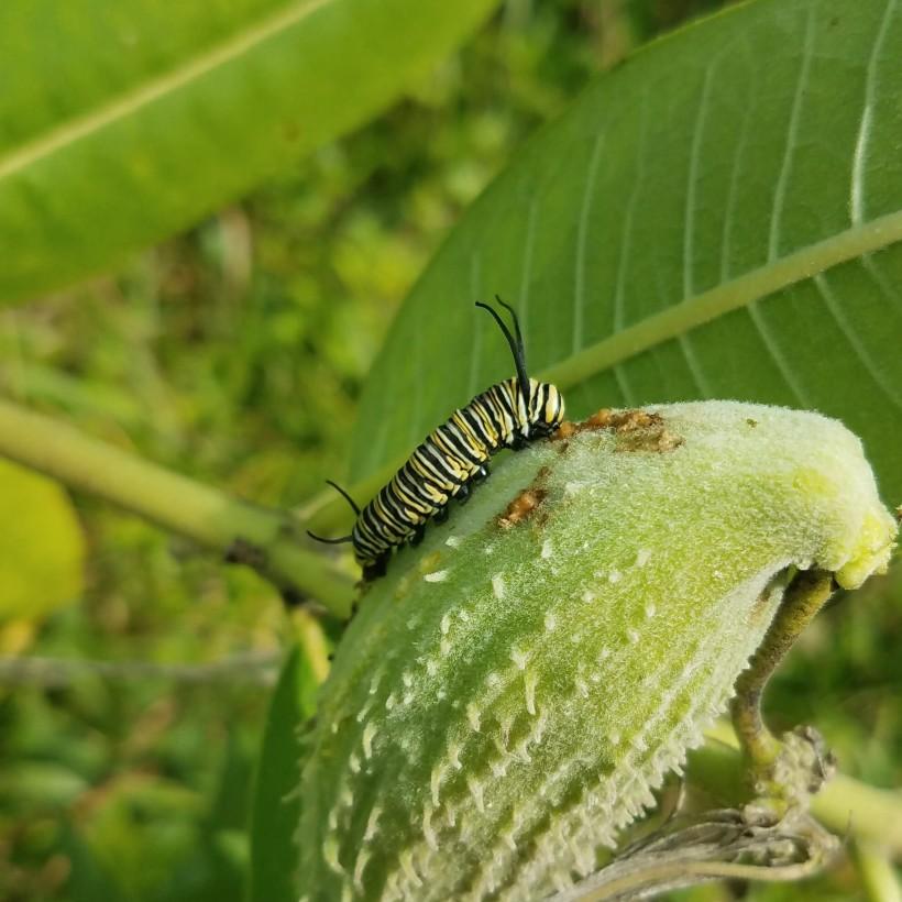 A fierce monarch caterpillar devouring its helpless prey, a milkweed seedpod