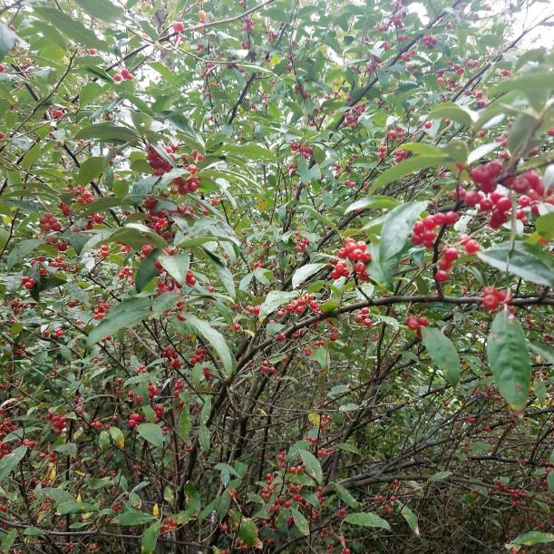 Ripe Autumn Olive Berries