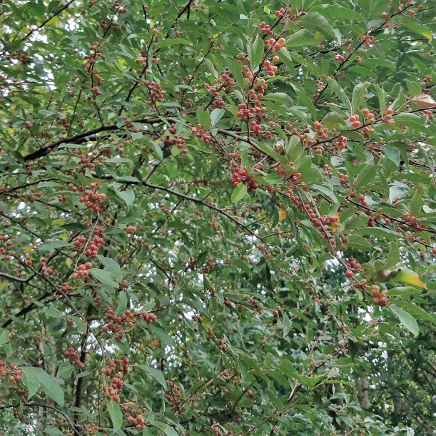 Ripe Autumn Olive Berries