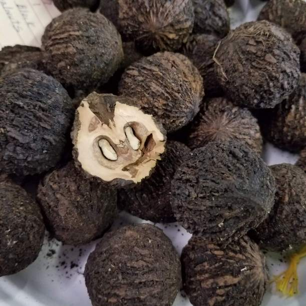 Black walnut samples at the Great Frederick Fair