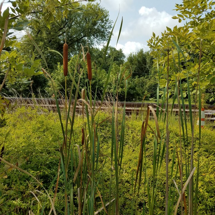 Cattails too close to train tracks