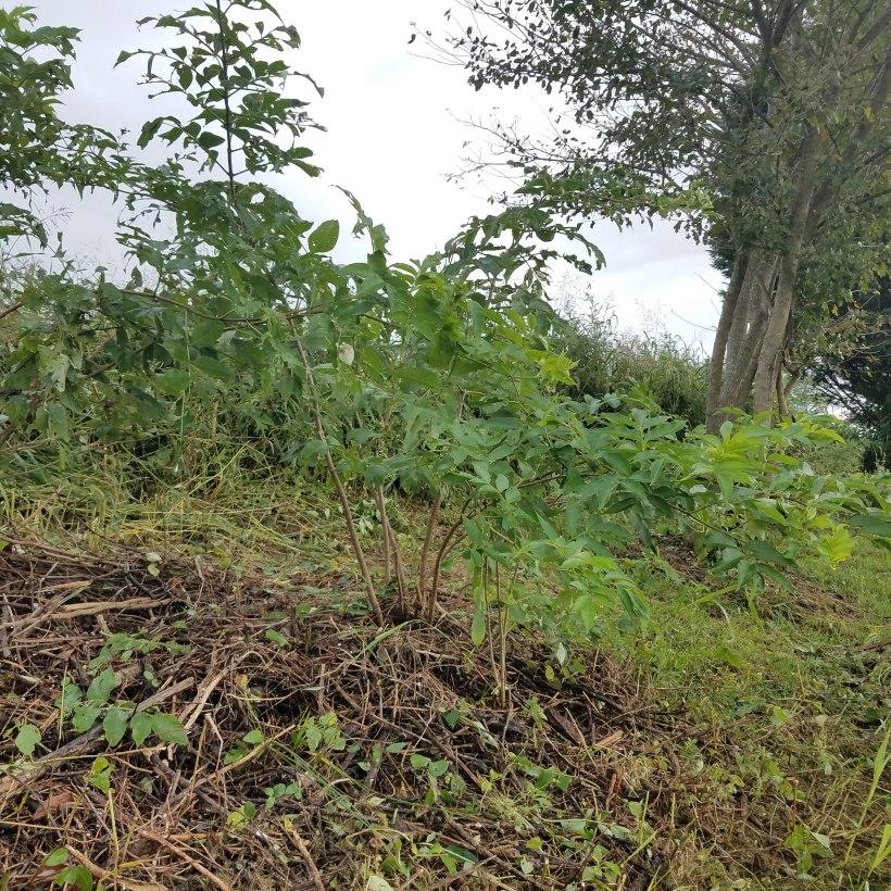 Ellie the Elderberry, Hiding among the Weeds