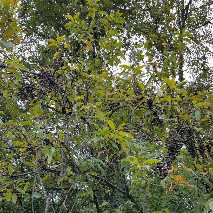 Wild Grape Clusters