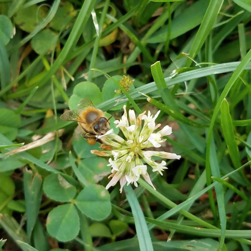 Honey bee with clover