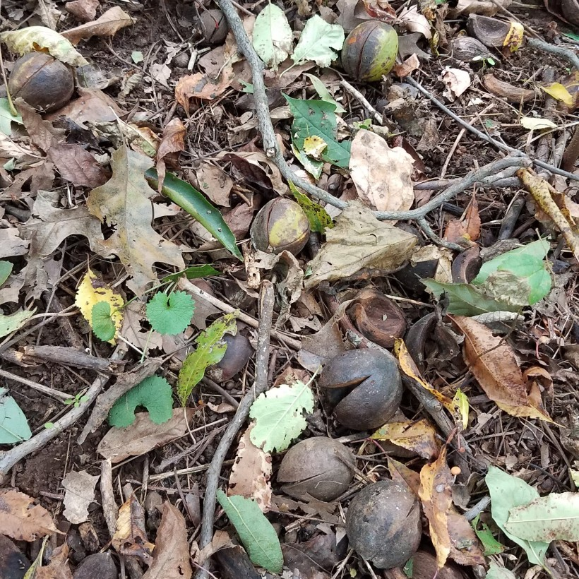 Shellbark Hickory Nuts