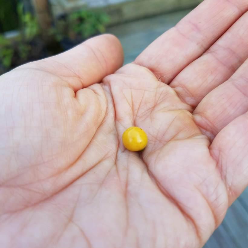 One Lone Ground Cherry