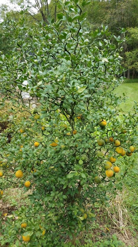 A citrus at Longcreek Homestead