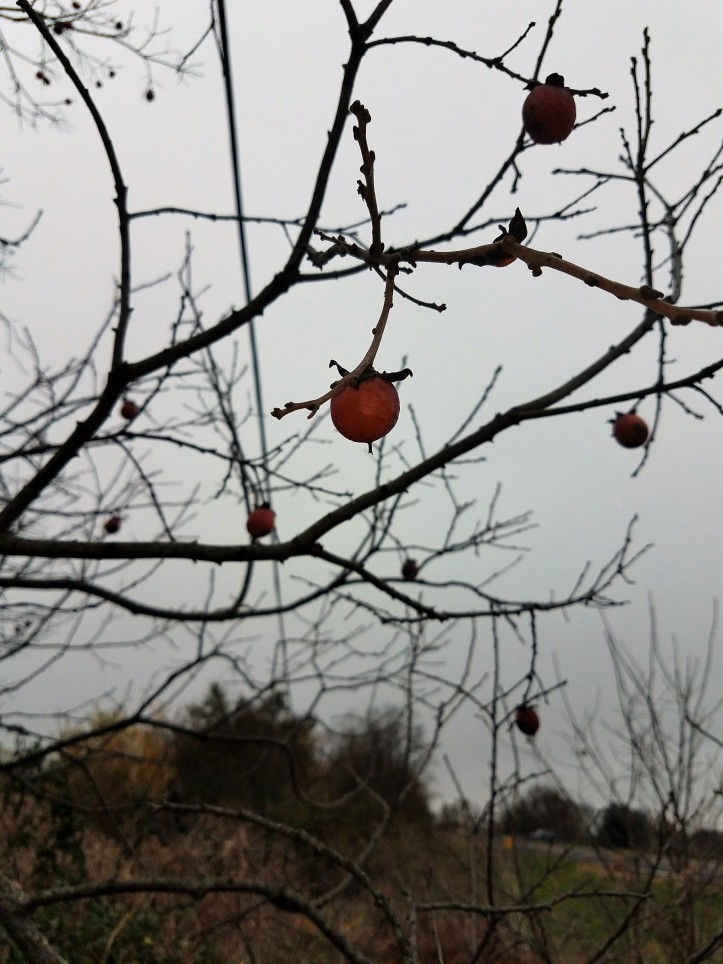 Spotting Persimmons in the Fall