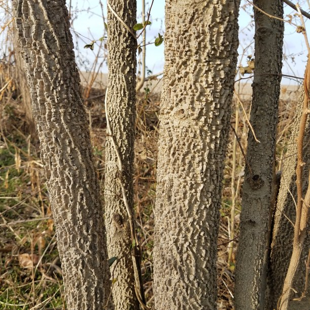 Warty Hackberry Bark