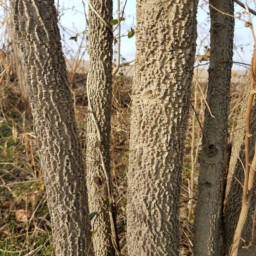Warty Hackberry Bark