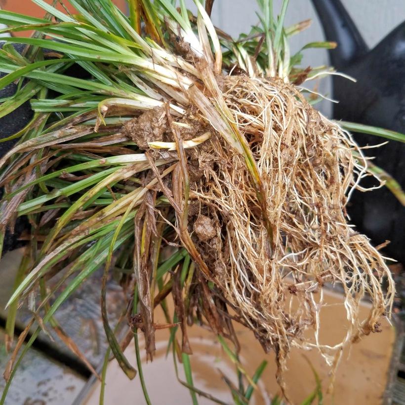 Nutsedge roots - no tubers here!