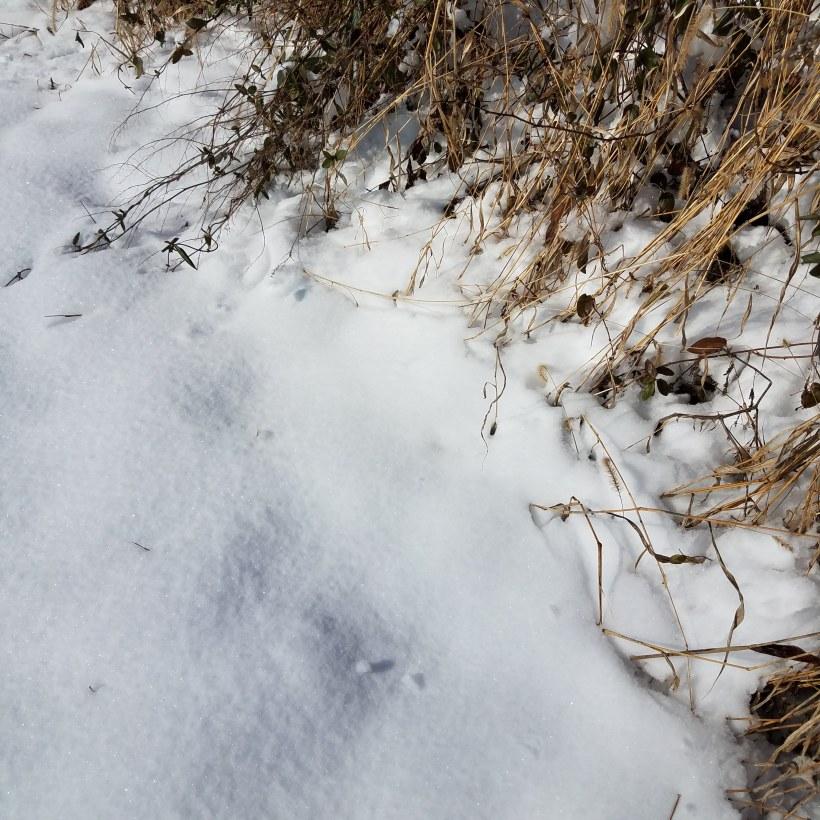 First year burdock plant (Arctium minus) in the snow