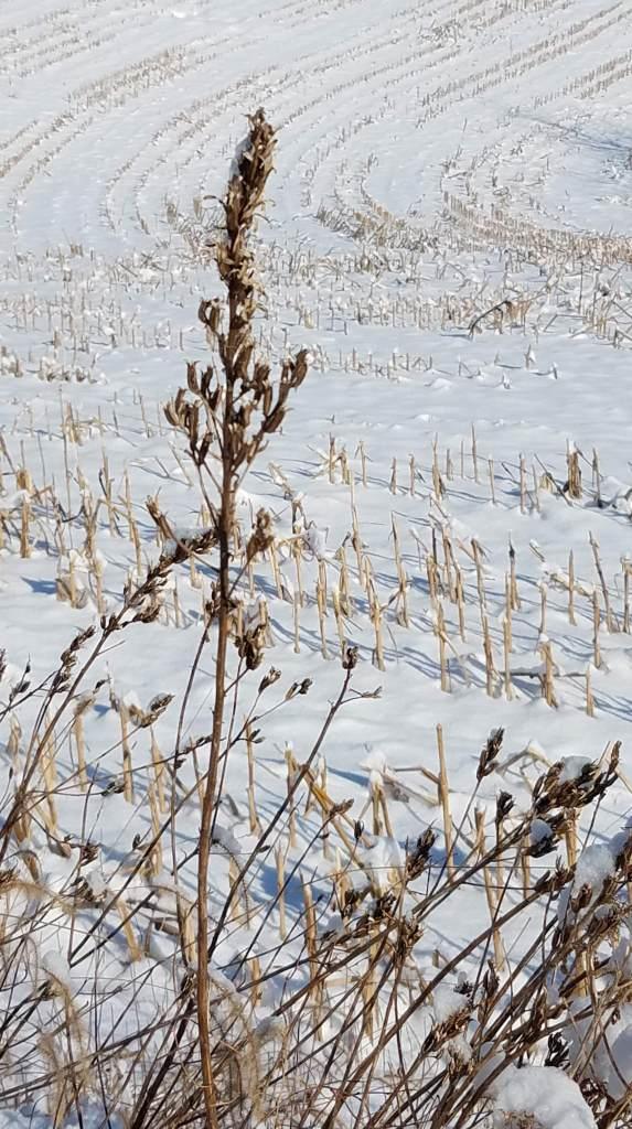Evening Primrose in the Snow