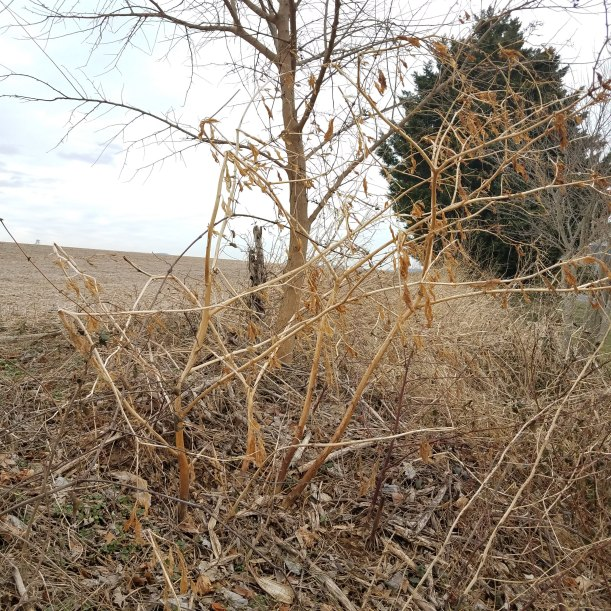 Pale Pokeweed Stalks in Winter