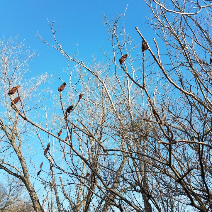 Staghorn sumac drupes stand out against a winter sky