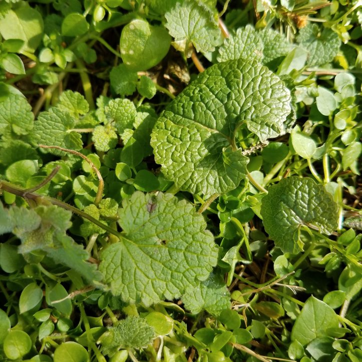 Garlic Mustard leaf (upper right) compared to Dead Nettle (lower left)