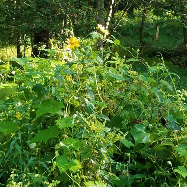 You can just see the Jerusalem artichoke flowers in this pile of weeds.