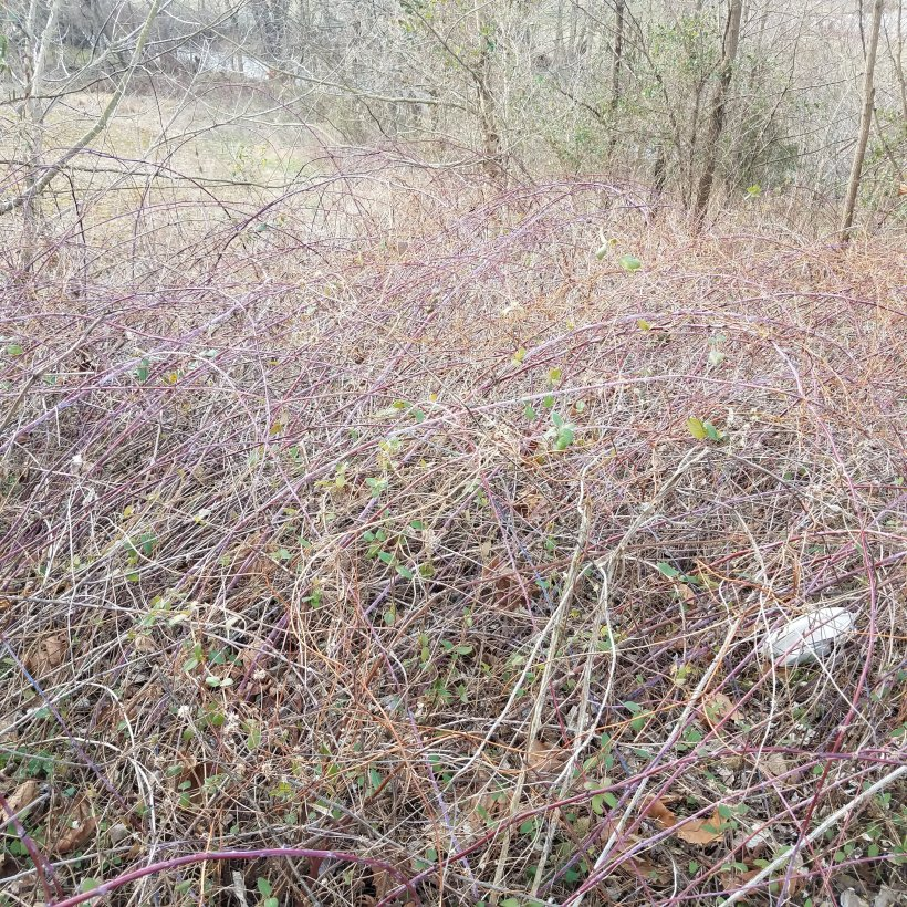 A tangle of brambles in the winter