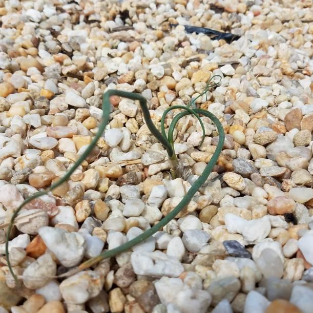 Field garlic (Allium vineale)