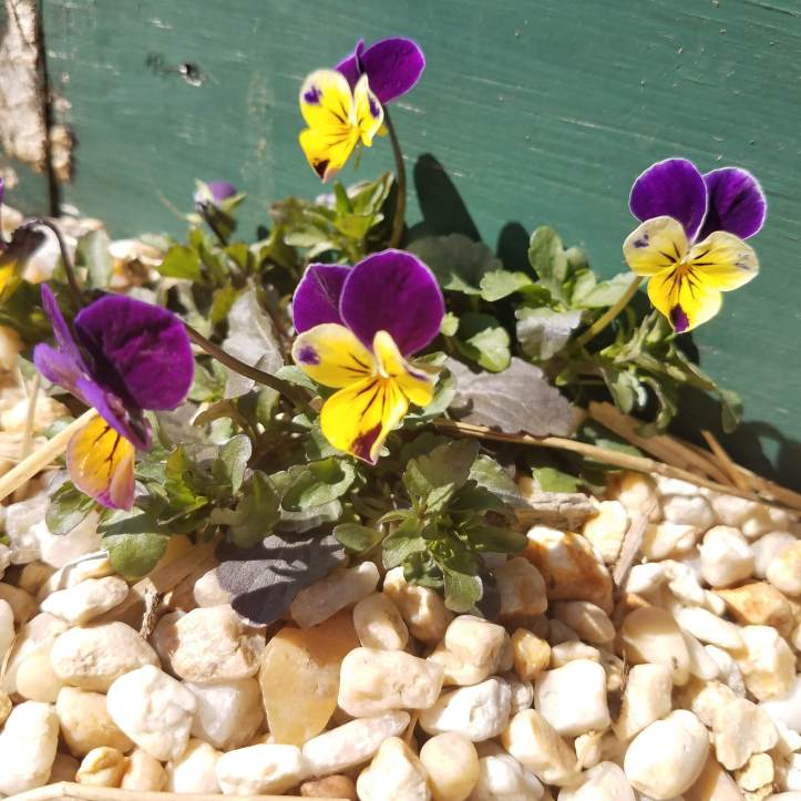 Johnny Jump-Ups (Viola tricolor)