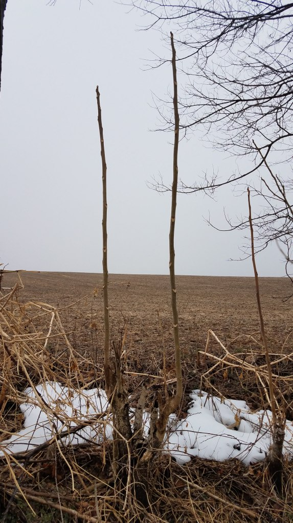 Branchless staghorn sumac plants