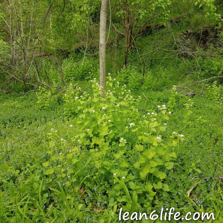 Garlic mustard spreading through the forest understory