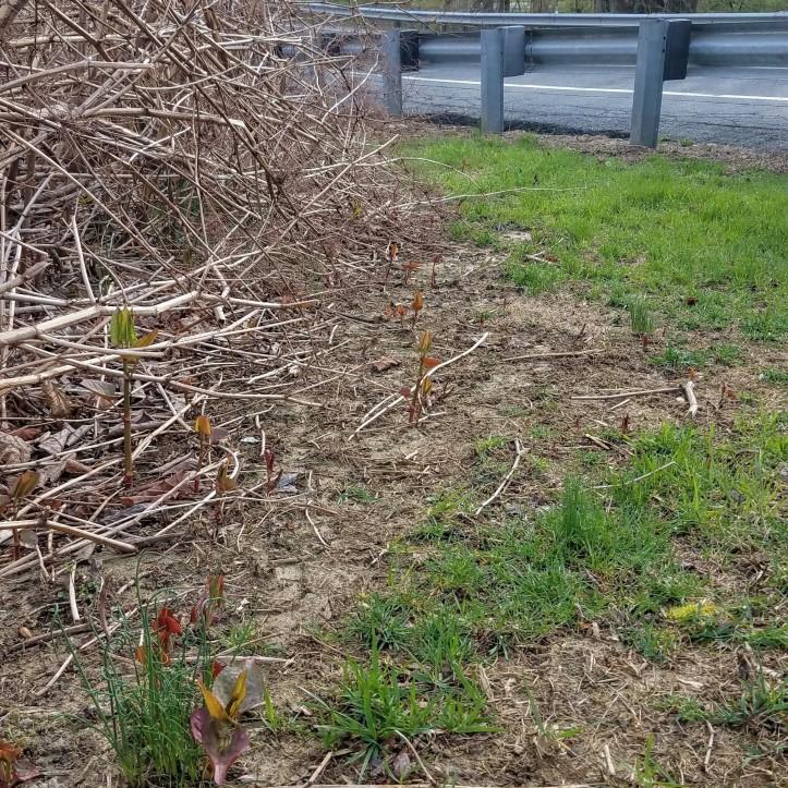 The inevitable spread of Japanese knotweed