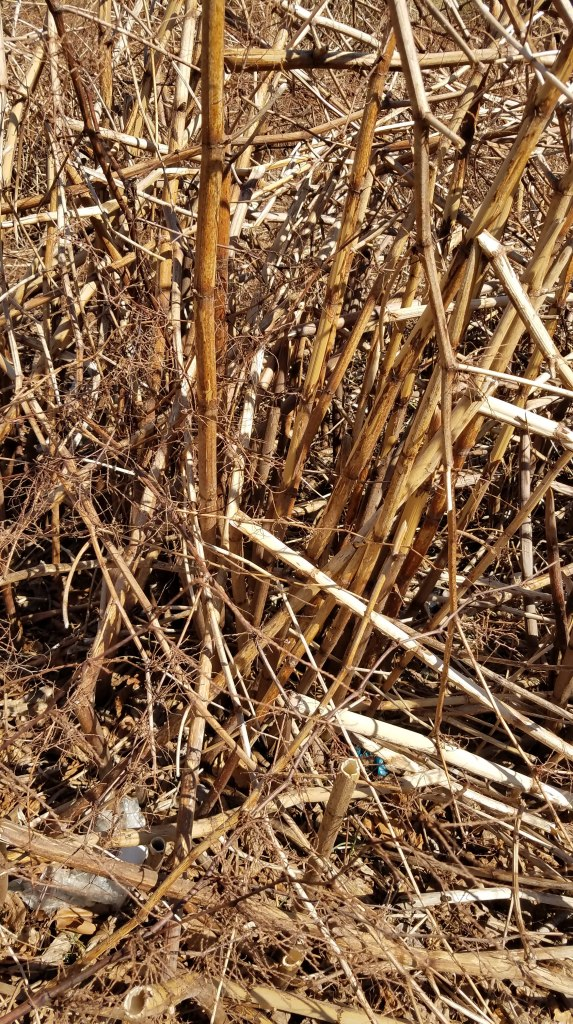Dead Knotweed Stalks
