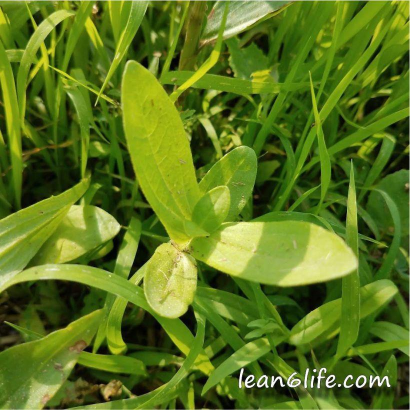Baby milkweed
