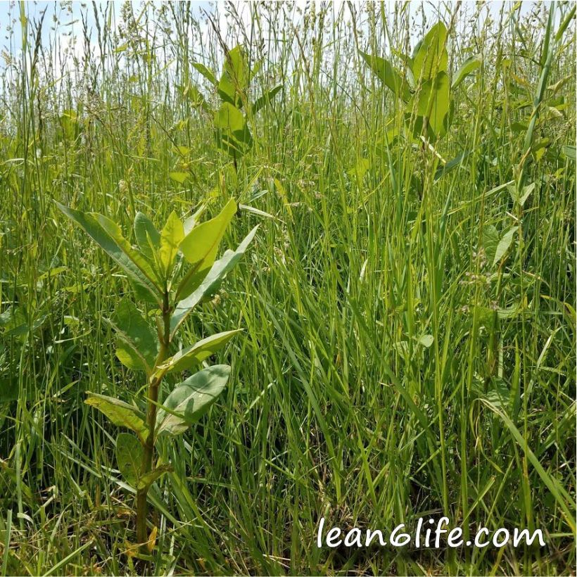 The milkweed patch, for as long as it may stand