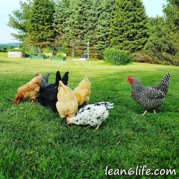 My backyard flock